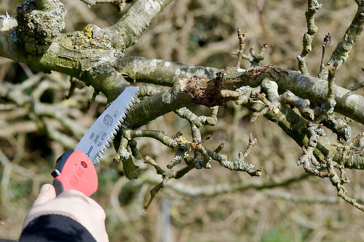 Completely remove any branches or shoots infected with canker. Prune back until you reach healthy wood.
