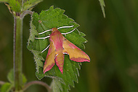 Kleiner Weinschwärmer, Deilephila porcellus, Pergesa porcellus, small elephant hawkmoth, Schwärmer, Sphingidae, hawkmoths, hawk moths, sphinx moths, sphinx moth, hawk-moths, hawkmoth
