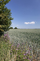 30.5.2020 Winter wheat field <br /> ©Tim Scrivener Photographer 07850 303986<br />      ....Covering Agriculture In The UK.