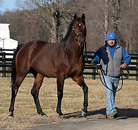 Advertising use only for Irish Hill Century Farm.  No editorial use by publications is included. Big Brown, by Boundary, winner of the 2008 Kentucky Derby and Preakness Stakes, and three-year-old champion that year, at Irish Hill Century Farm near Saratoga, New York, 11-30-17