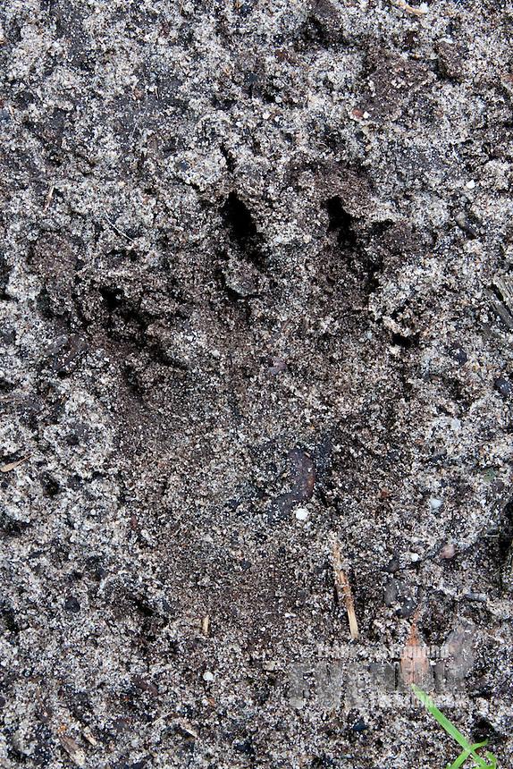 European Badger track. Hernen, The Netherlands.
