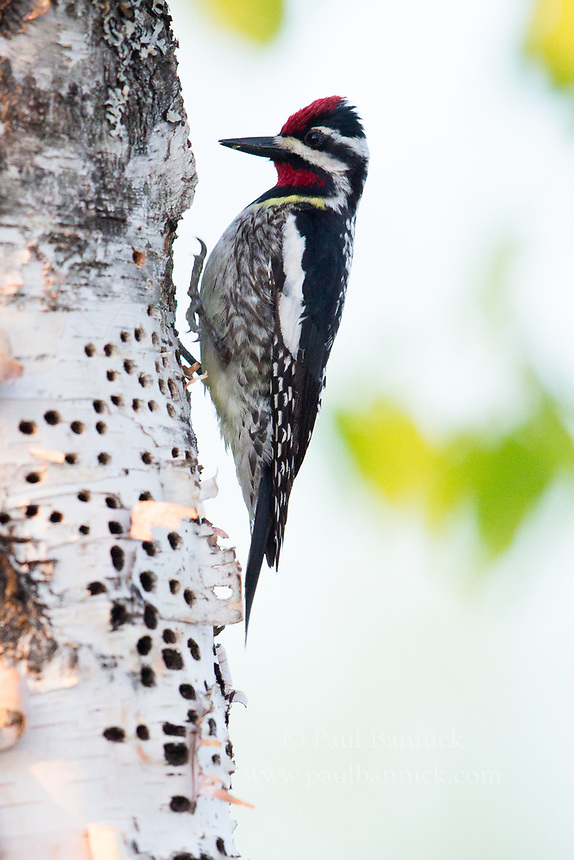 A Yellow-bellied Sapsucker works a series of sapwells.