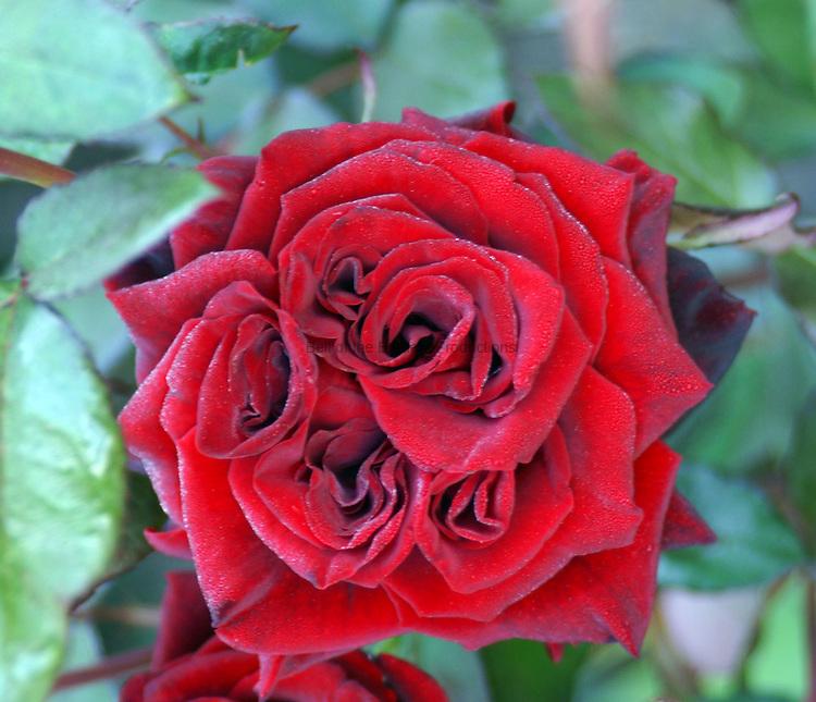 multiple center red rose
