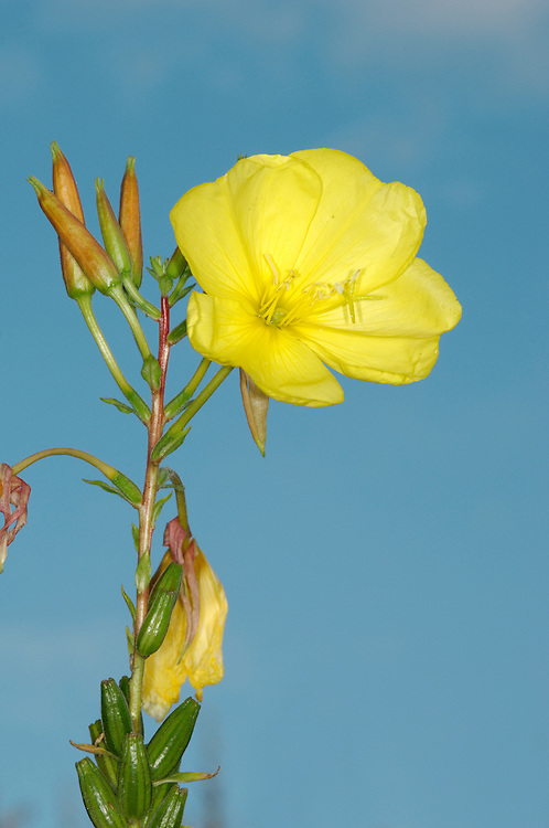 COMMON EVENING-PRIMROSE Oenothera biennis (Onograceae) Height to 1.5m. Downy biennial of waste land. FLOWERS are 4-5cm across, yellow and open only on dull days or evenings (Jun-Sep). FRUITS are capsules. LEAVES are lanceolate with red veins. STATUS-Introduced and naturalised. O.glaziovana (flowers 6-8cm across) and O.cambrica (flowers 3-5cm across) also occur; fruits have red, swollen-based hairs.