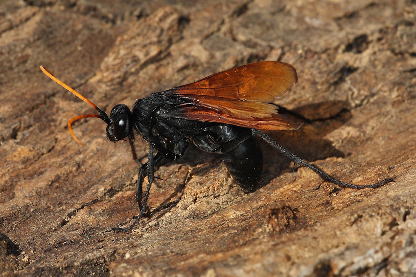 The Great Black Wasp is a  predatory wasp, and generally preys on katydids. It makes a rustling sound when it flies, due to its large wings..