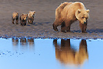 Brown bear(s), Lake Clark National Park, Alaska
