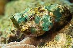Humpback scorpionfish or devil scorpionfish (Scorpaenopsis diabolus)