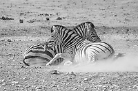 Burchell's Zebras fighting in the dust of Etosha, Namibia