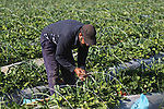 A Palestinian farmer harvests strawberries at a farm in Beit Lahia, in the northern Gaza Strip, on January 30, 2019. Photo by Mahmoud Ajjour