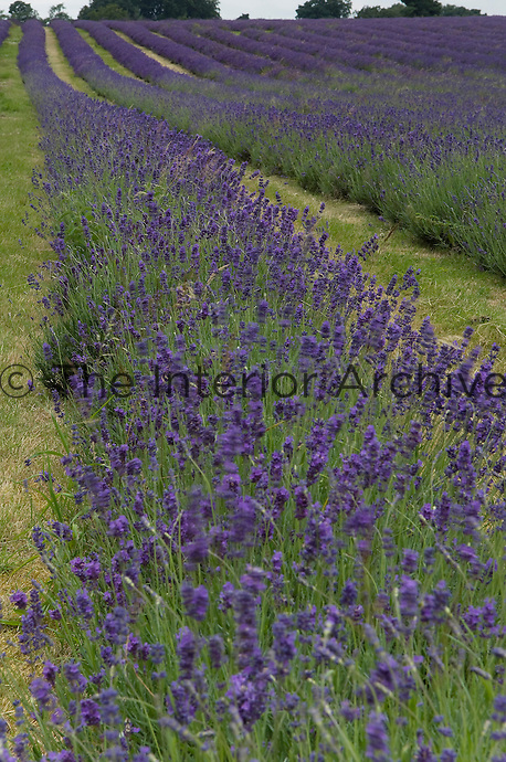 Rows of purple lavender dance in the gentle breeze