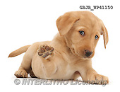 Kim, ANIMALS, REALISTISCHE TIERE, ANIMALES REALISTICOS, fondless, photos,+Cute Yellow Labrador Retriever puppy, 9 weeks old, lying stretched out in a playful manner, with one paw raised,++++,GBJBWP41150,#a#
