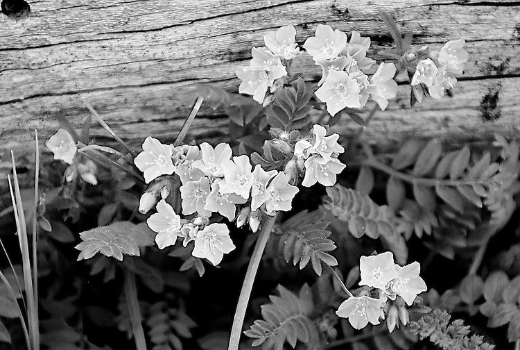 Flowers, Estes Park, Colorado
