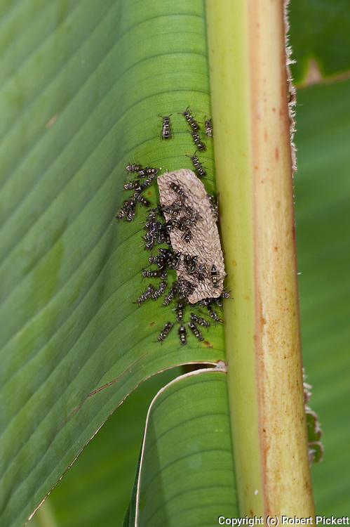 Paper wasps, Genus Mischocyttarus, Panama, Central America, Barro Colorado Island, constructing nest on banana leaf