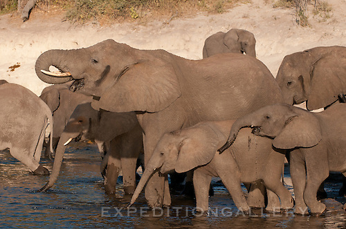 Large groups of elephant families drink at the Chobe River, Botswana.