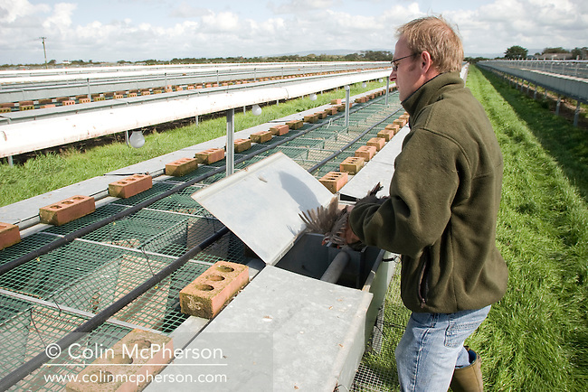 A member of staff at Hy-Fly Hatcheries, a company based in Preesall, near Blackpool, Lancashire which specialises in breeding partridge and pheasant to be sold to sporting estates, pictured checking partridges in raised cage laying units. The partridges are kept in small cages for up to three years while they mature before being sold. Pheasants are also kept in cages but are transferred to outdoor pens as they mature. The company, which is owned by Ray Holden, produces around three million day-old chicks per year.