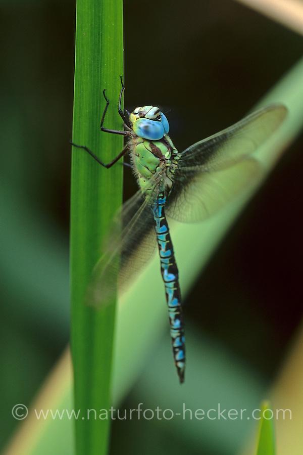 Grüne Mosaikjungfer, Männchen, Aeshna viridis, Aeschna viridis, Green Hawker, male, Edellibelle, Aeshnidae, Edellibellen, Aeschnidae, hawkers, darners