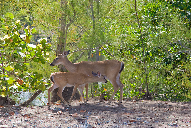 Florida Key Deer are only found in the Keys and are considered an endangered species.