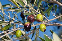 Olive, Oliven, Früchte am Baum, Olivenbaum, Oliven-Baum, Ölbaum, Olea europaea, Olive
