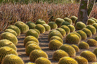 Echinocactus grusonii, Golden Barrel Cactus; Sunnylands