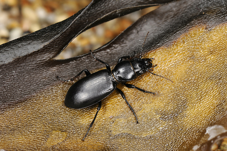 ground beetle<br /> Broscus cephalotes