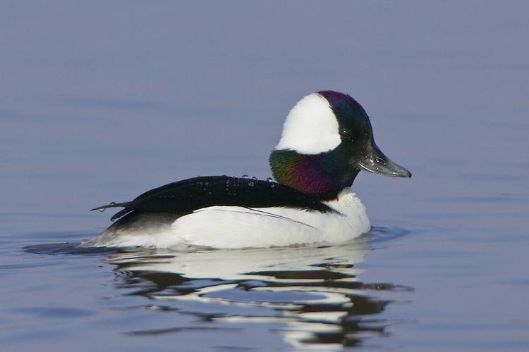 Bufflehead swimming on a lake