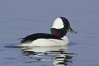 Bufflehead swimming on a lake