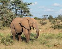 African Elephant (Loxodonta africana) feeding on grass, Ewaso Ng'iro River, Samburu