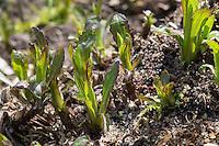 Kanadische Goldrute, Blatt, Blätter kurz nach dem ersten Austrieb, Solidago canadensis, Canada Goldenrod