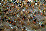 Mallard Ducks walk on the shore in blurred motion, George C. Reifel Migratory Bird Sanctuary, British Colombia, Canada