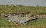 Yala National Park Sri Lanka<br /> Monitor