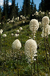 Beargrass growing on the mountainside at Mt. Thompson lookout near Creston, B.C. Canada
