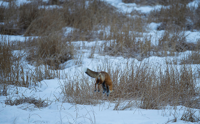 A fox pounces on a vole hidden under the snow in Yellowstone National Park in Wyoming, USA, on Feb 10Th 2015.  Photo by Gus Curtis.
