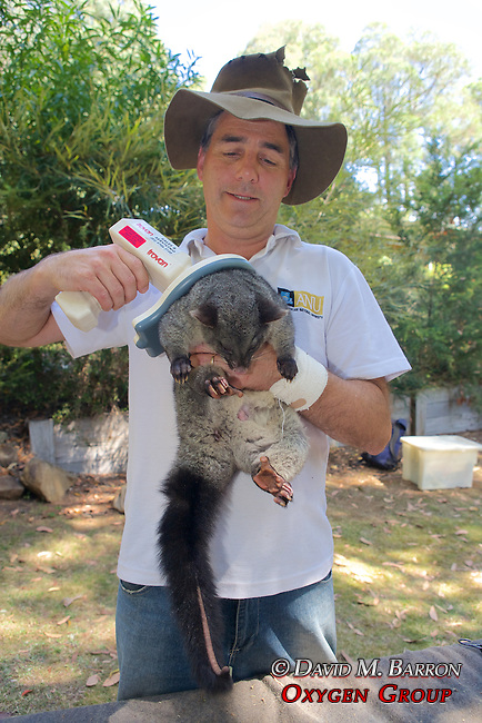 David Lindenmayer Checking Microchip Put In Mountain Brushtail Possum