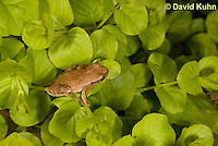 0810-0903  Spring Peeper Frog Climbing on Green Sedums, Pseudacris crucifer (formerly: Hyla crucifer)  © David Kuhn/Dwight Kuhn Photography