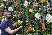 "London, UK. 5 February 2015. Kew Gardens horticulturalist Henck Roling prepares a floral display featuring Vanda orchids. ""Alluring Orchids"" is the first festival on the Royal Botanic Gardens' 2015 calendar which showcases thousands of exotic and rare flowers in the Princess of Wales Conservatory from 7 February to 8 March 2015."