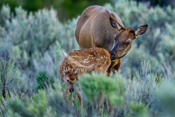 Rocky Mountain Elk (Cervus canadensis nelsoni)--cow cleaning young calf.  Northern Rockies, June.