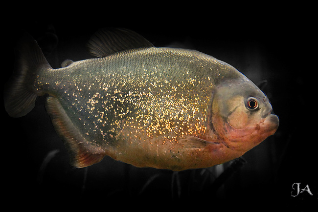 Red-bellied Piranha in a aquarium