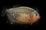 Red-bellied Piranha in a aquarium