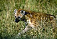 African, wild animal. Close up view of a hyena as it scouts the terrain for prey. Masai Mara, Kenya.