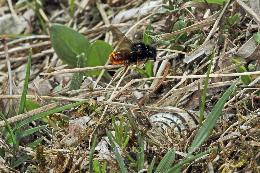 Zweifarbige Schneckenhaus-Mauerbiene, Zweifarbige Schneckenhausbiene, Zweifarbige Mauerbiene, an Schneckengehäuse, Schneckenhaus, tarnt das Gehäuse mit Grashalmen, transportiert Halme, Osmia bicolor, Mauerbienen, Mason bee, Mason bees