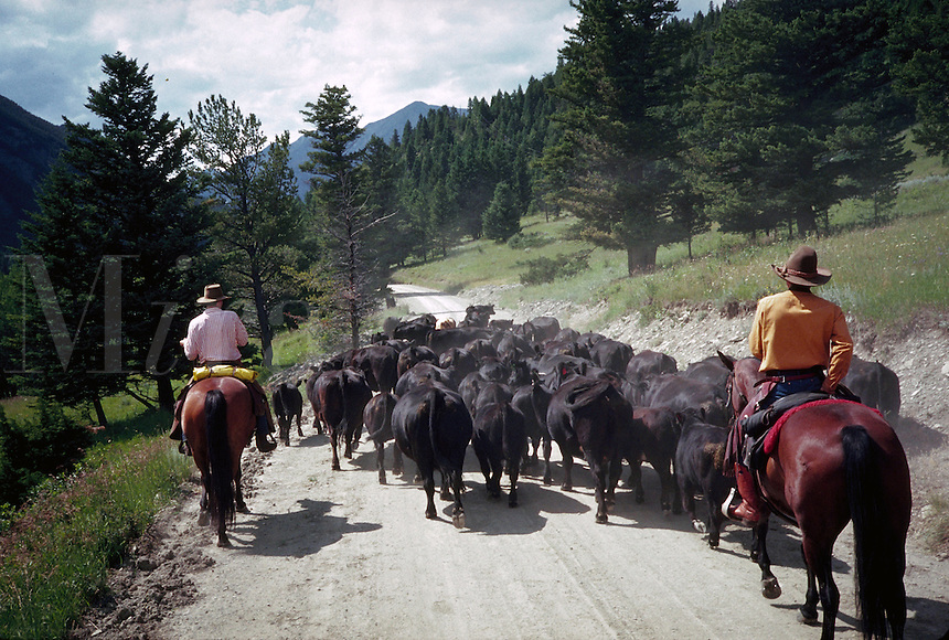 Bringing in the herd, Lazy K Ranch, Big Timber, Montana