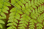 ferns, plants, Jedediah Smith Redwoods State Park, California