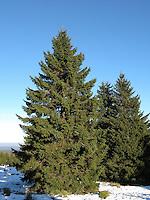 Gewöhnliche Fichte, Rotfichte, Rot-Fichte, im Schnee, Picea abies, Commun spruce, Christmas Tree, Epicéa
