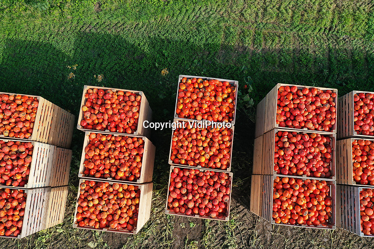 Foto: VidiPhoto<br /> <br /> BEESD – Met de modernste pompoenenoogstmachine van Europa worden dinsdag de oranje pompoenen van biologisch landbouwbedrijf De Terp binnengehaald van een perceel in Beesd. Ondanks de verbeterde automatisering, moeten de pompoenen nog steeds met de hand gesneden worden. Dat gebeurt door arbeidsmigranten uit Polen, Roemenië en Moldavië. Volgens De Terp is de vraag naar deze biologische 'vitaminebommen' sinds de coronacrisis enorm gestegen. De geoogste pompoenen zijn bestemd voor de Nederlandse supermarkten. De Terp is met 250 ha. aan oogstbare pompoenen (4 miljoen kilo) de grootste verwerker op dit gebied van Europa. De pompoenenoogst duurt tot half september.