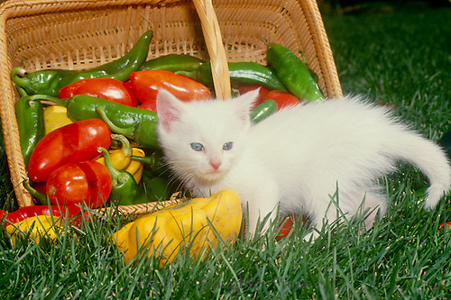 Helping out--Lovely and pesky white kitten playing with a basket of mixed peppers just harvested from the garden.