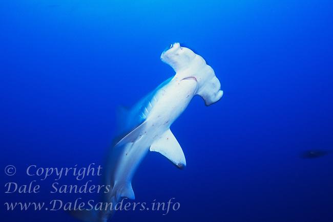 Scalloped HammerHead Sharks ( Sphyrna lewini ), underwater off Cocos Island, Costa Rica.