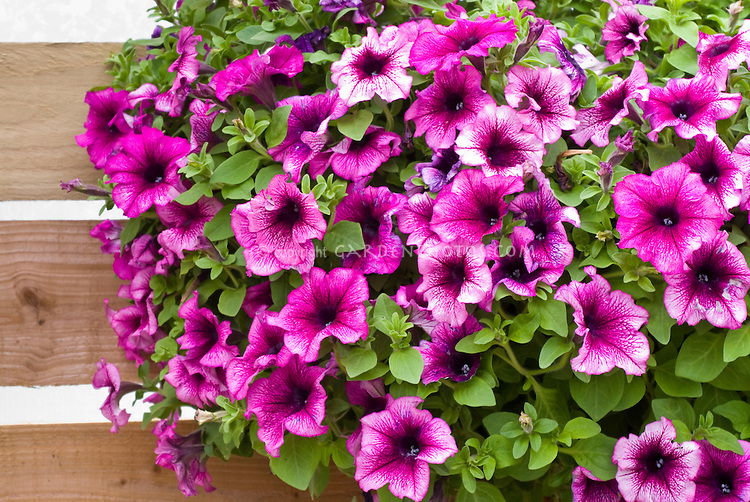 Petunia 'Fanfare Creme de Cassis' in hanging basket container pot, pink and purple color