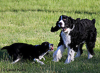 0730-0829  Young English Springer Spaniels Playing with Each Other, Canis lupus familiaris © David Kuhn/Dwight Kuhn Photography.