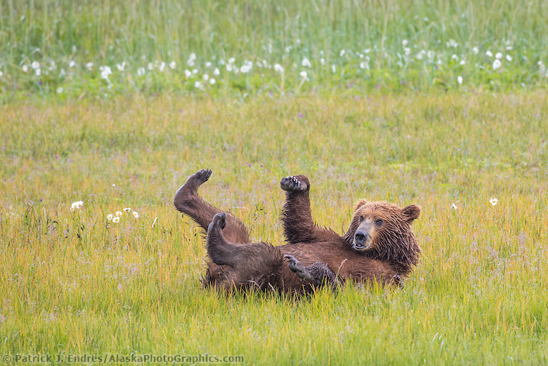 Coastal brown bear rolls in a grassy meadow with its feet sticking in the air. Katmai National Park, Alaska Peninsula, southwest Alaska.