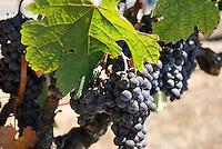 Santa Barbara, California vineyard grapes and leaf
